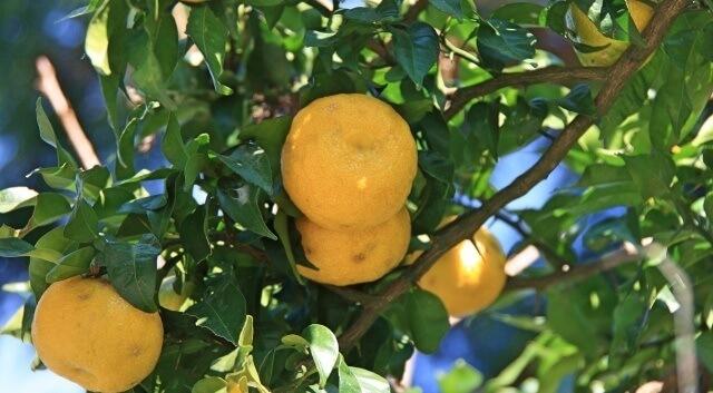 四国の柑橘イメージ画像