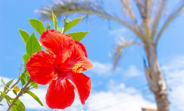 沖縄のイメージ 花 ハイビスカス